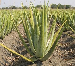 Economic Idea of ​​Producing and Cultivating Aloevera