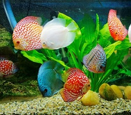 Breeding Ornamental Fish, a Creative Business Idea
